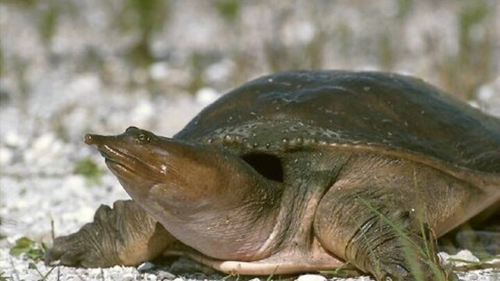 To Purchase A Softshell Turtle Food